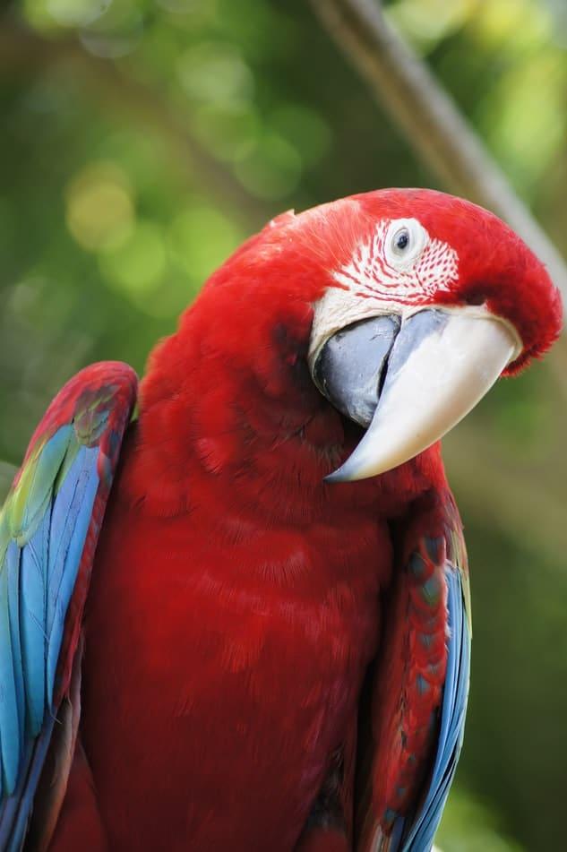 perroquet rouge et bleu avec la tête penchée